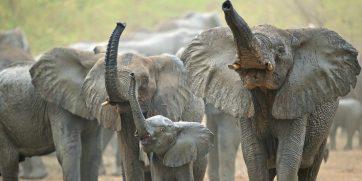 zakouma elephants