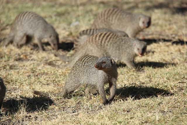 Etosha Mongoose
