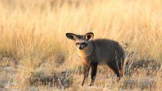 bat eared fox https://www.flickr.com/photos/dkeats/34649394520/