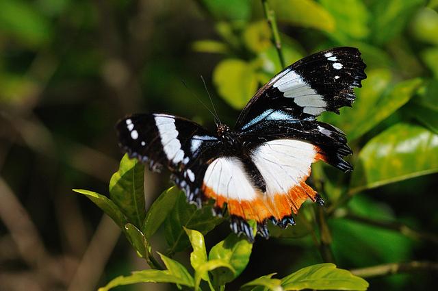 butterfly madagascar