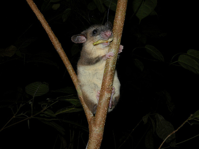 tufted tailed rat