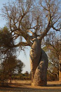 baobab amoreux
