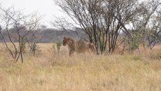 lioness botswana