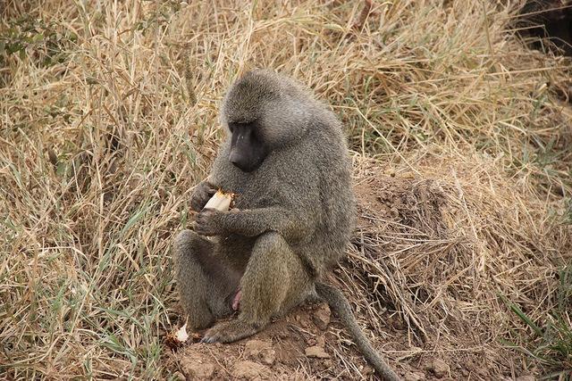 tarangire baboon