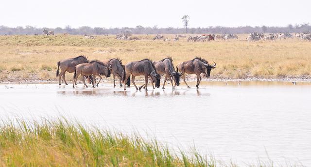 wildebeests botswana
