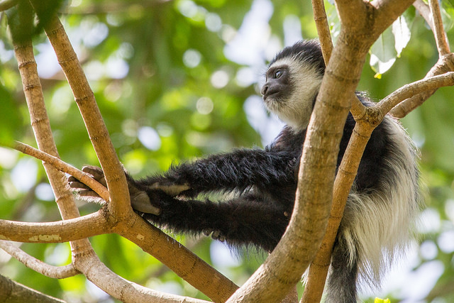 colobus thumbs