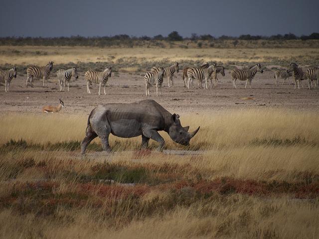 rhino etosha