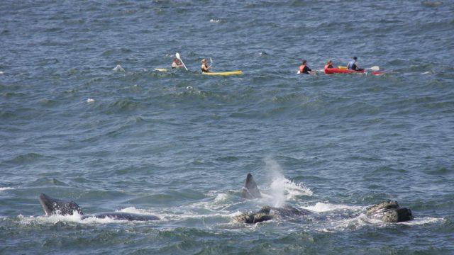 whale kayak