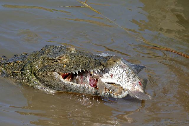 eating croc