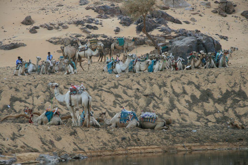 nile camels