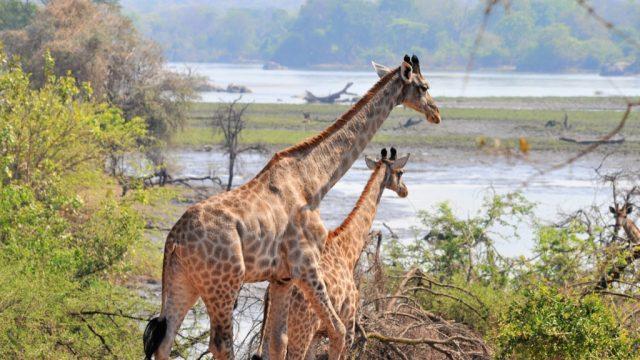 giraffe malawi