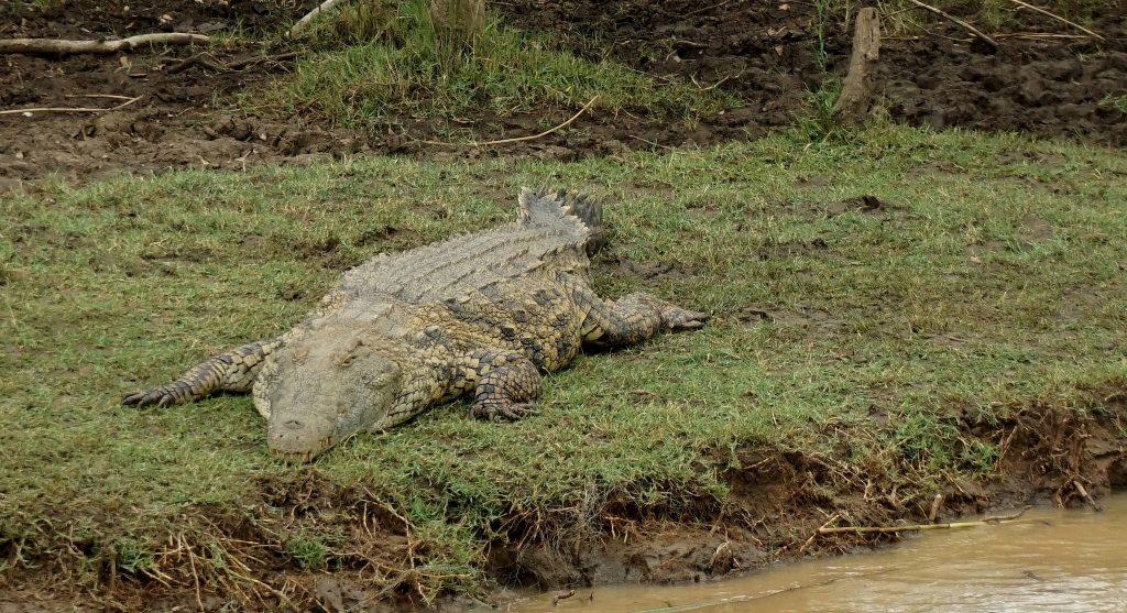 isi crocodile