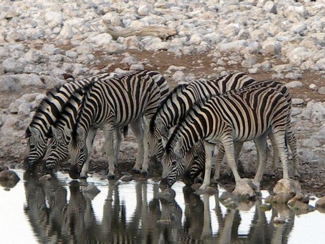 zebras migrate